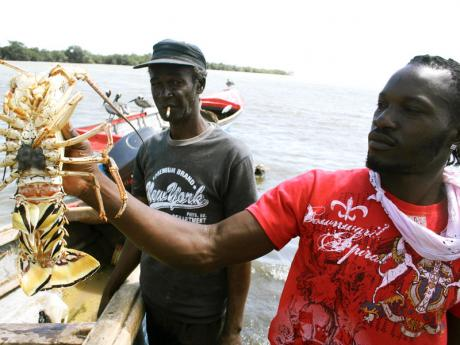 Jamaica to Start Selling Live Lobsters to China