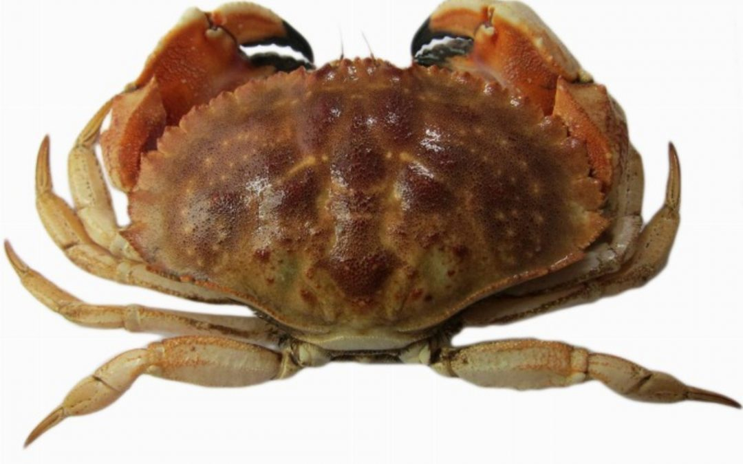 Chinese enthusiasm for Jonah crab keeps Canadian plant humming
