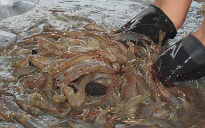 Shrimp Exporters Find Optimism in Chinese Market Due to Several Changes