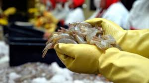 Record  month for Ecuadorian  shrimp exports to China